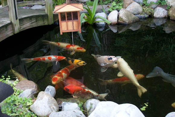 Large Koi eating from the feeder