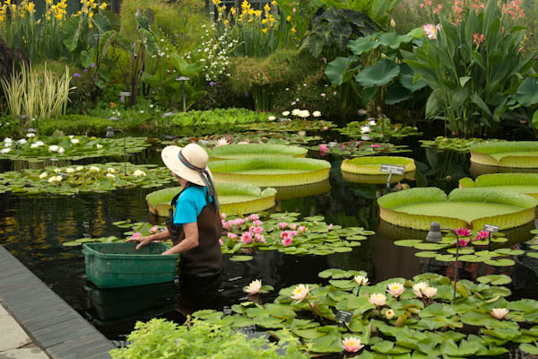 Longwood Gardens, Aquatic Plant design, water lilies on design your garden, japanese zen garden, flower garden, designing an office,
